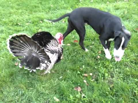 Xxx Mp4 Turkey Has Sex With Dog Great Dane Consensual 3gp Sex