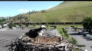 Louis Removes Nestling from Nest, June 23, 2017