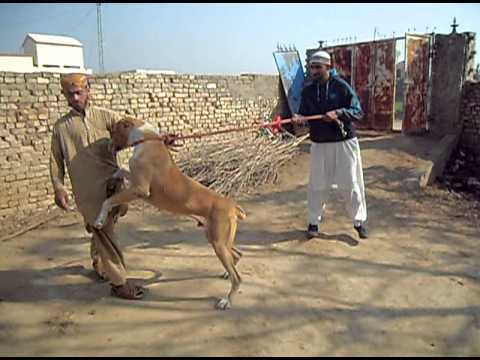 Xxx Mp4 My Bully Kutta In Pakistan 2 3gp Sex