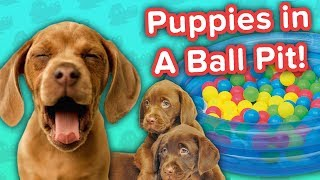 Ball Pit Puppies & Goats Playing with Cows!! // Funny Animal Compilation