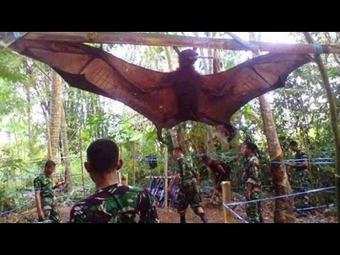 GIANT BAT CAPTURED WHAT IS IT