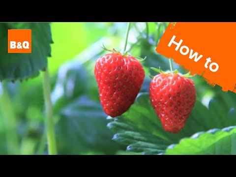Xxx Mp4 How To Grow Harvest Strawberry Plants 3gp Sex