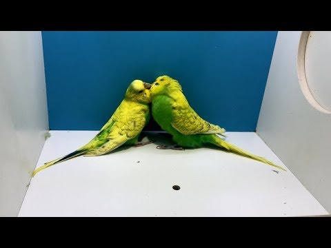 Xxx Mp4 Muhabbet Kuşunuz Çıldıracak Çiftleşme Ve Kızıştırma Sesi 1 Saat 3gp Sex