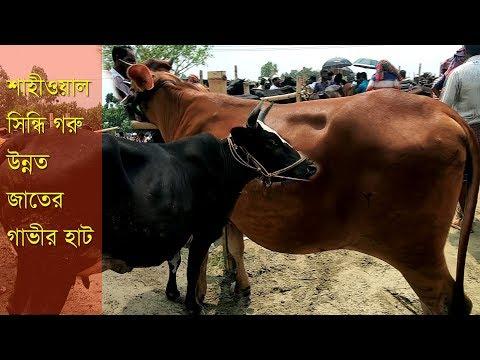 Xxx Mp4 শাহীওয়াল সিন্ধি ও উন্নত জাতের গাভী গরুর হাট Bera Chutur Haat Gavi Goru 3gp Sex
