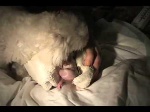 Bir köpeğin doğumu YouTube.flv