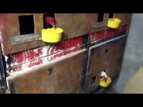 postura de gallos Cuida de carlos Haro 7
