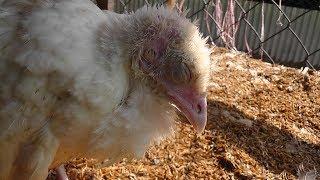 টার্কি মুরগির এই রোগের ঔষধ জেনে নিন কাজে আসবে | Find turkey chicken's disease pills will be useful |