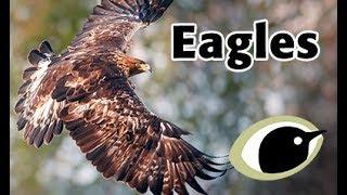 BTO Bird ID - Eagles