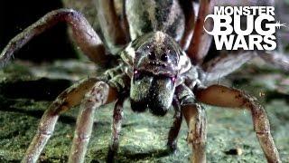 Sydney Funnel Web Vs Wolf Spider   MONSTER BUG WARS