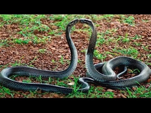 Xxx Mp4 Snake Dance At Forest Tirumala Real Naag Nagin Dance Caught On Camera 3gp Sex
