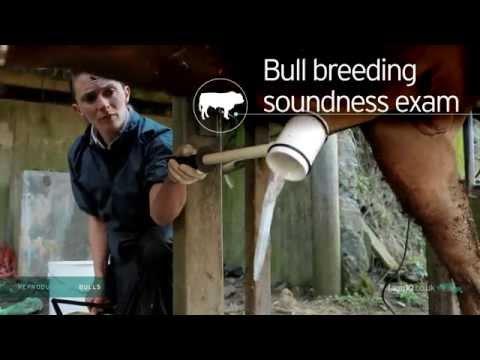 Reproductive Bulls Bull Breeding Soundness Exam 222