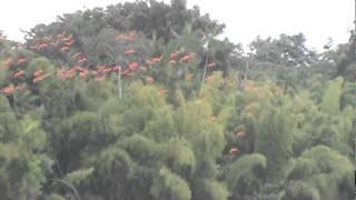 Voo sincronizado das aves do Amapá no rio araguari