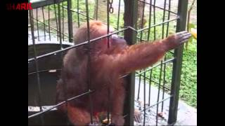 Ghetto Monkey Eating Bananas (Funny Voiceover)