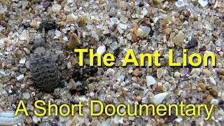 The life of the Ant Lion - Short Documentary