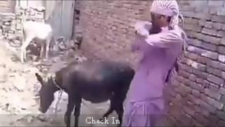 দেখুন গাধার সাথে গাধামী, ওরে মজা রে । Funny video 2016
