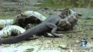 شاهد كيف يبتلع الثعبان التمساح سبحان الله