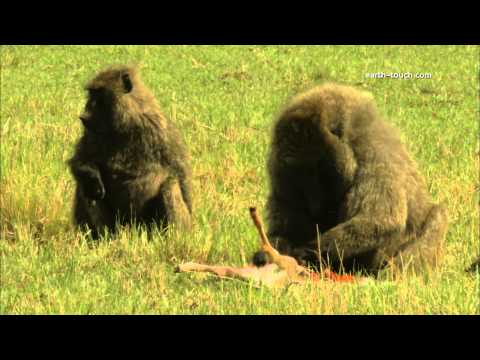 Graphic content warning Baboon eating gazelle alive