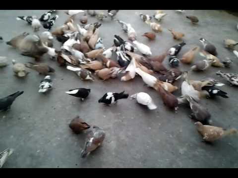 Gholle Pigeons In Delhi By Aman Prabhakar