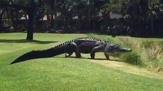 Giant Alligator Walks Across Florida Golf Course