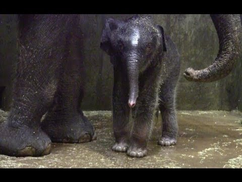 Xxx Mp4 Asian Elephant Calf Gets Her First Bath At Saint Louis Zoo 3gp Sex