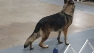 The National Dog Show: German Shepherd Dogs