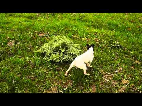fox terrier cazando un conejo