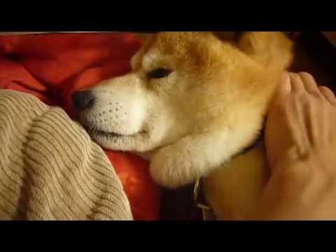 爺ちゃん柴犬の癒しの時間♪shiba inu