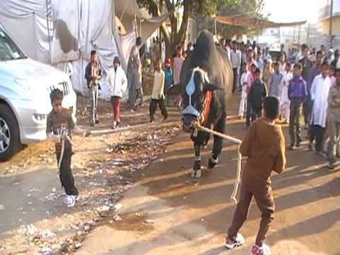 qurbani in landhi 2009 black king s cat walkn wid Taha & Arham.MOD