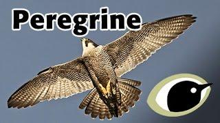 BTO Bird ID - Peregrines