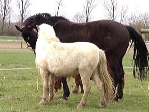 eerste kennismaking polly sugar ray en jackson van stichting paard in Nood.MPG
