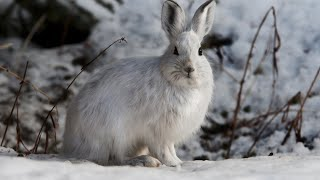 How Did This Hare Escape An Avalanche?