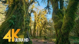 Amazing Hoh Rain Forest in 4K - Winter & Summer | Nature Sounds with Soothing Birds Singing