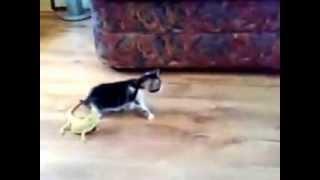 الضبان والقطه