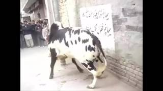 Whatsapp Funny Cows Fails   Animals very very funny videos compilation 2016