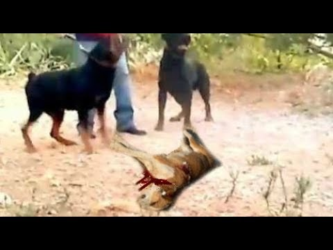 Rottweilers Attack and Kill a Dog in Front of Poor Owner's Eyes!!!
