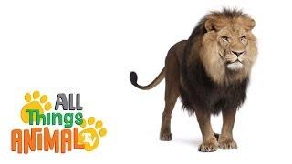 LIONS: Animals for children. Kids videos. Kindergarten | Preschool learning