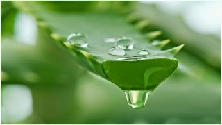 অ্যালোভেরার জাদুকরি রহস্য জেনে নিন!!!Aloe vera magical mystery