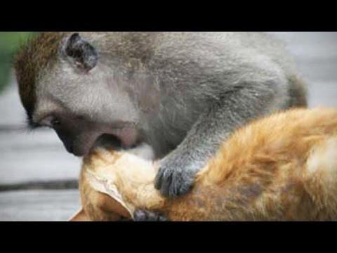 MONKEYS VS CATS (HD) [Funny Pets]