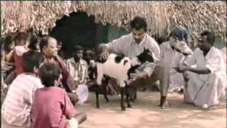 Manipulation of Marma Points on a goat