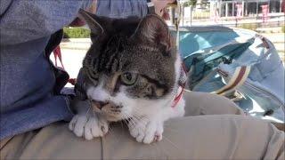とにかく隠れたい猫リキちゃん☆猫と公園散歩・猫とお出かけ☆【リキちゃんねる 猫動画】Cat videos キジトラ猫との暮らし