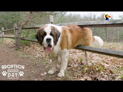 130 Pound Dog Gets His First Home Ever The Dodo Adoption Day