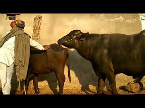 martin | rhino martin with baffalo bull | baffalo mating | buffalo soldier bob marley lyrics
