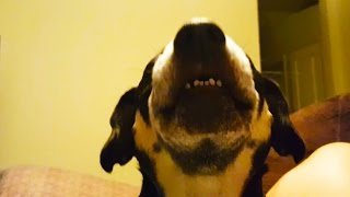 Talking Dogs 2017 🐶 FUNNY DOGS TALKING AND SINGING [Funny Pets]