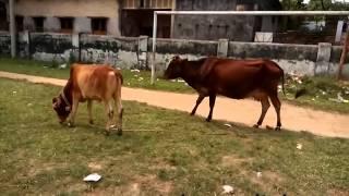 The Bigest Big cow vs. small cow maramari!!!! chor
