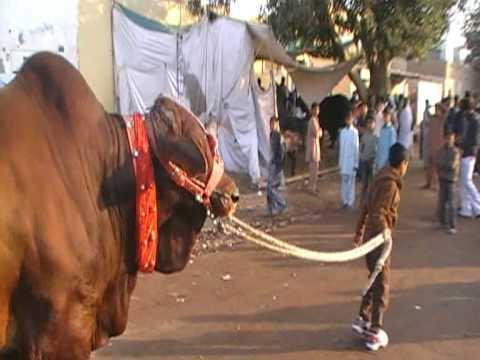 QURBANI IN LANDHI 2009 Desi munda s cat walk wid Taha.