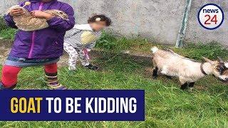 WATCH: The goat that got Woodstock talking
