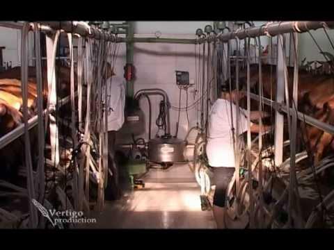 Savremena farma sa preko 1000 koza U nasem ataru 343