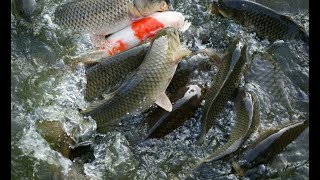 17 05 13 mixed fish cultivation dr h shivanandamurthy and thammanna yallappa bennuru's exp in soil a
