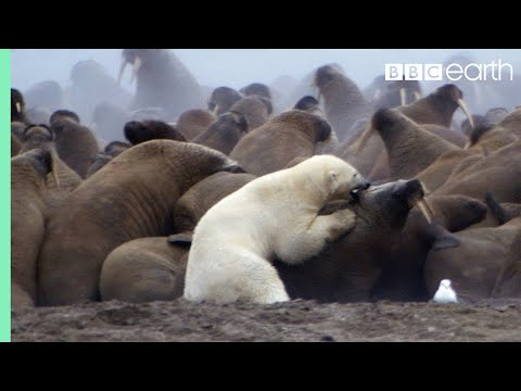 Polar Bear vs Walrus Planet Earth BBC Earth