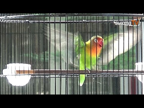 THIS IS HER BEAUTIFUL BIRD, LOVEBIRD, BREAKING AND DAY